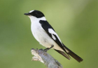 Collared flycatchers
